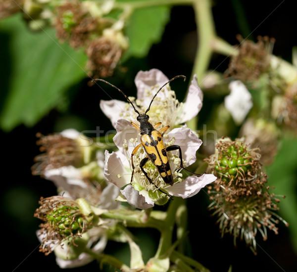 Böcek sarı siyah doğa böcek İngiltere Stok fotoğraf © suerob
