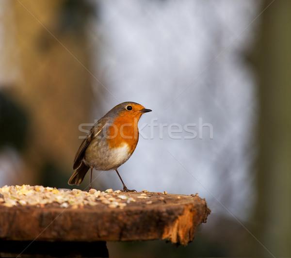 Perky Robin  Stock photo © suerob