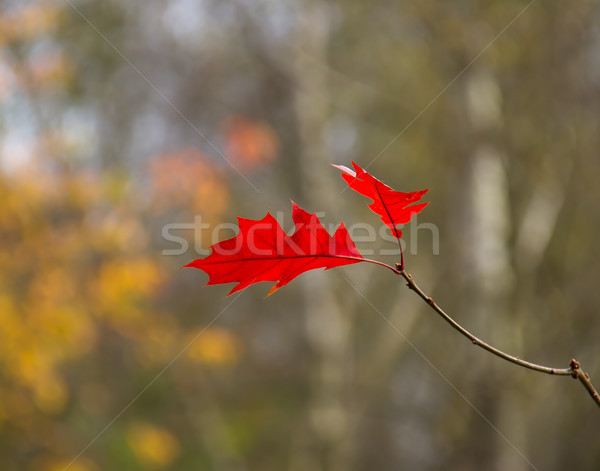 Red Oak Leaves Stock photo © suerob