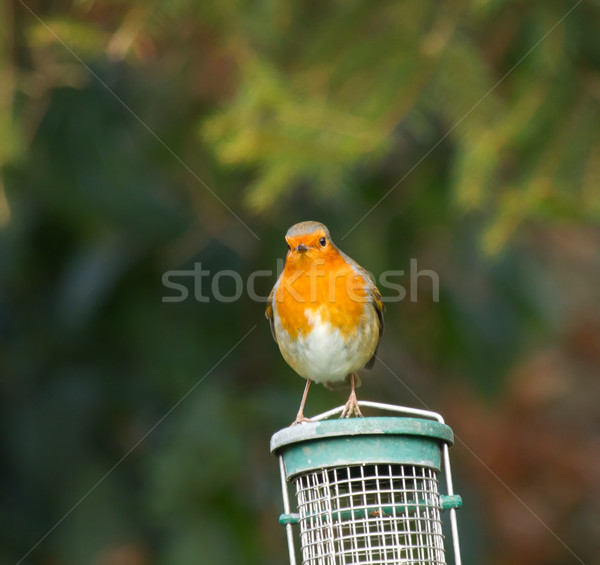 Robin on Feeder Stock photo © suerob