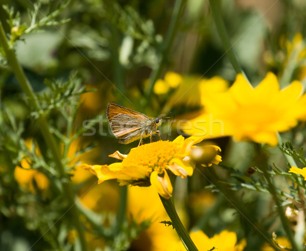 Stock photo: Small Skipper