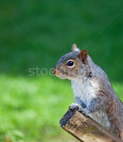 Grey Squirrel head shot Stock photo © suerob