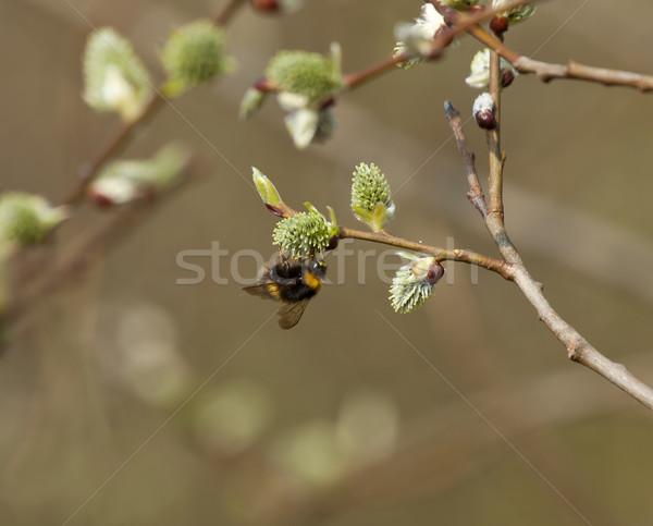 Abelha bichano salgueiro cedo primavera Foto stock © suerob