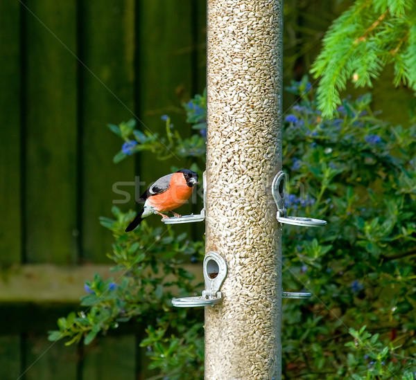 Bullfinch Stock photo © suerob