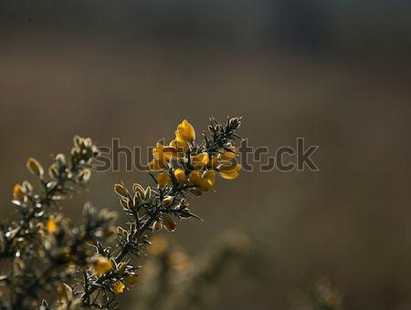 Gorse Flowers Stock photo © suerob