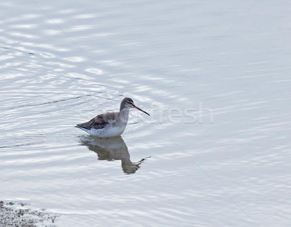 Spotted Redshank Stock photo © suerob