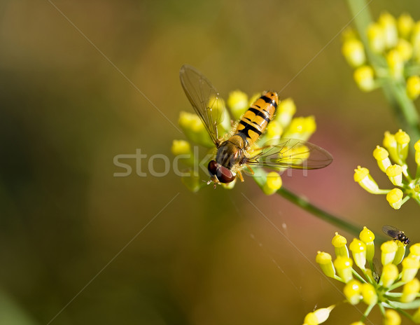 Fenouil macro coup jaune fleur orange Photo stock © suerob