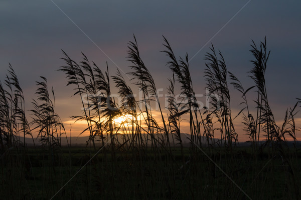Reeds Silhouetted Against Sunset Sky Stock photo © suerob