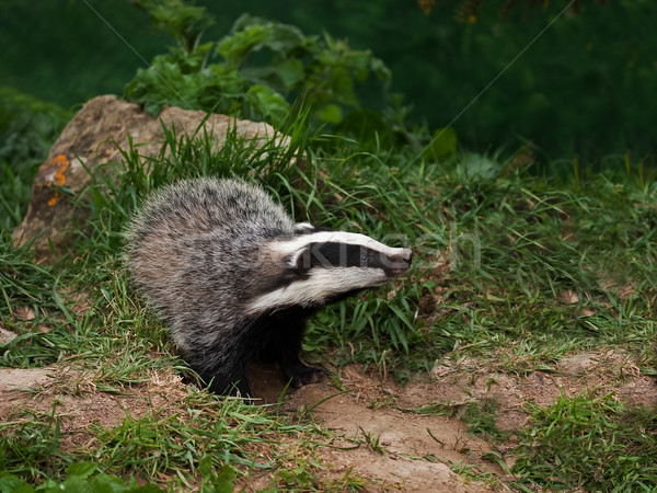 Badger Cub watching Stock photo © suerob