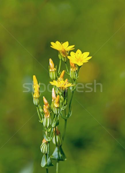 Yellow-wort Stock photo © suerob