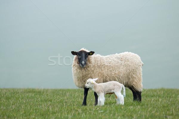 Kuzu sussex güney anne koyun Stok fotoğraf © suerob