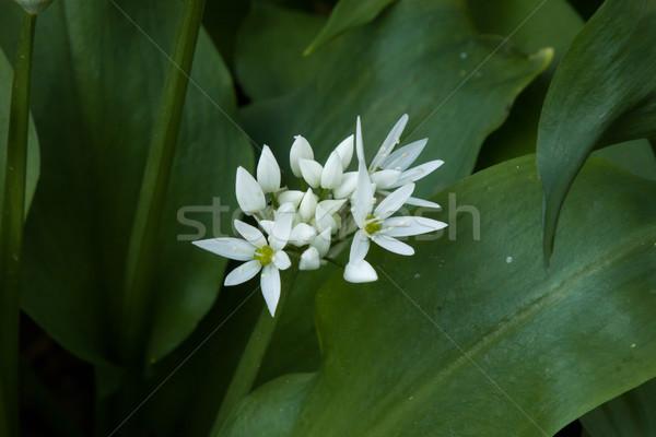 Wild Garlic Flowers Stock photo © suerob