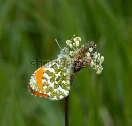 Turuncu uç kelebek erkek çiçek Stok fotoğraf © suerob