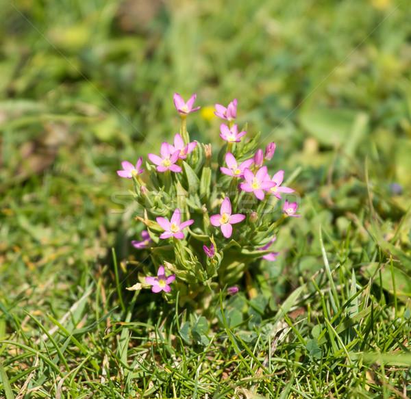 Kır çiçeği büyüyen tebeşir güney çiçek doğa Stok fotoğraf © suerob