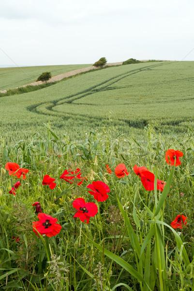 Gelincikler büyüyen İngiltere çiçek Stok fotoğraf © suerob