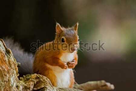 Red Squirrel with Paws Up Stock photo © suerob