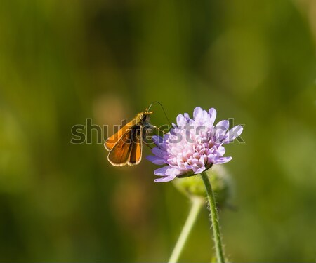 Small Skipper Butterfly Stock photo © suerob