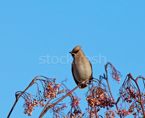 Bohemio árbol mirando bayas invierno Foto stock © suerob