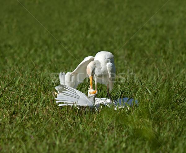 Cattle Egret Attack Stock photo © suerob