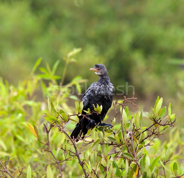 Long-tailed Cormorant Stock photo © suerob