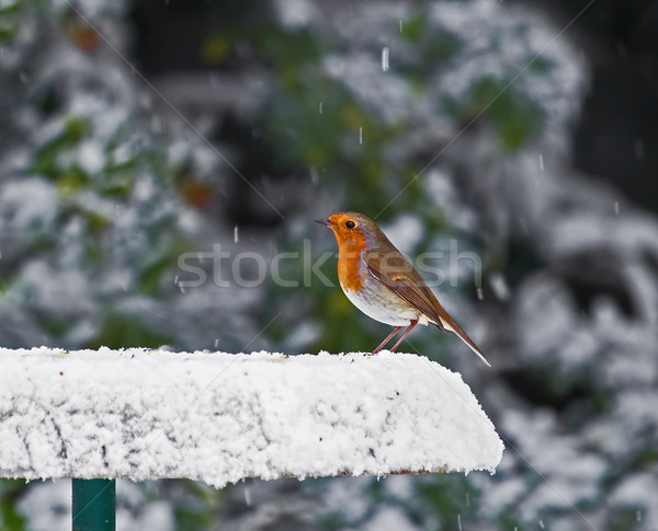 Robin on Snowy Feeder Stock photo © suerob