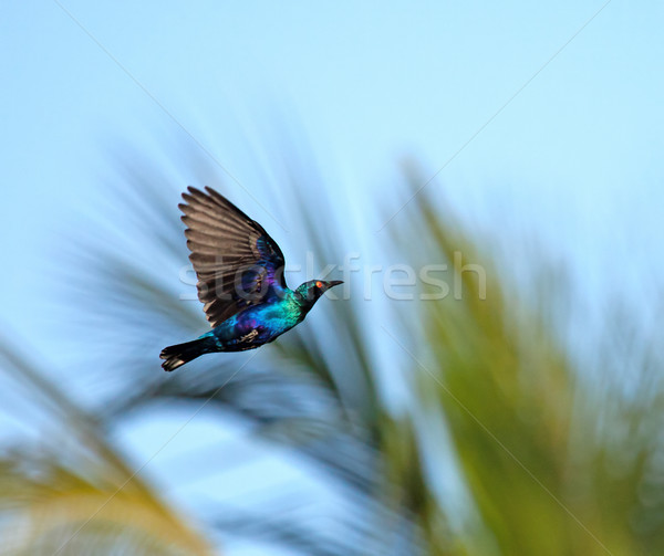 Lesser Blue-eared Glossy Starling in flight Stock photo © suerob