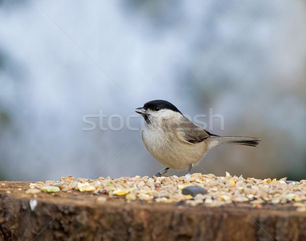 Marsh Tit with seed Stock photo © suerob