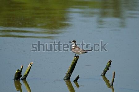 Noir Gambie oiseau au-dessus eau réflexion Photo stock © suerob