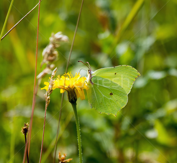Brimstone Butterfly Stock photo © suerob