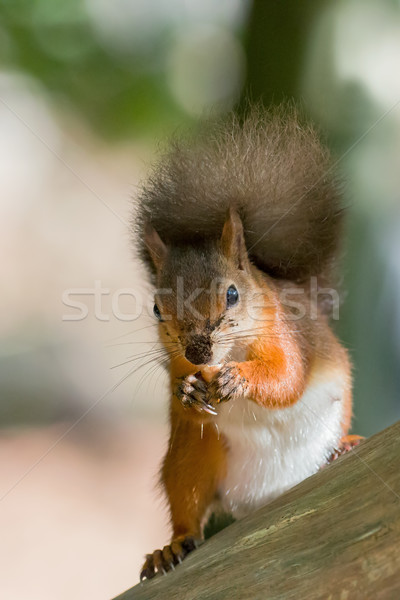 Stock photo: Red Squirrel with Nut