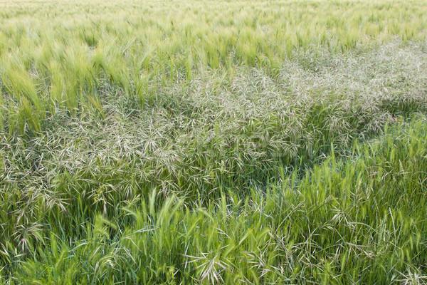 Céréales domaine textures trois différent cultures Photo stock © suerob