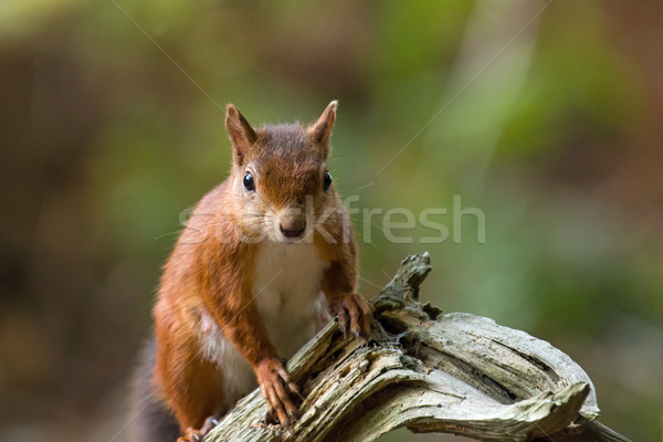Red Squirrel on Old Tree Stock photo © suerob
