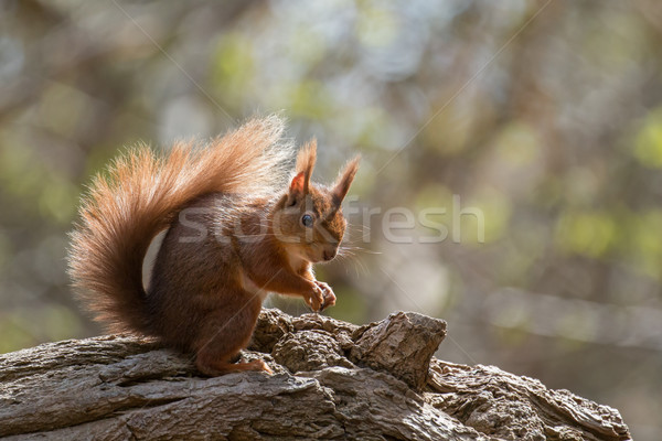Red Squirrel on Fallen Tree Stock photo © suerob