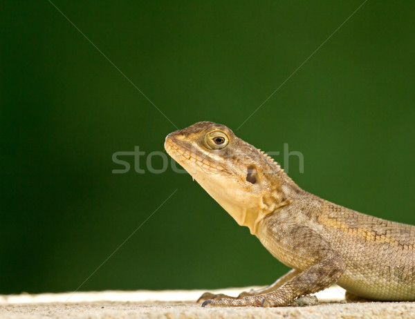 Lizard head and front legs Stock photo © suerob