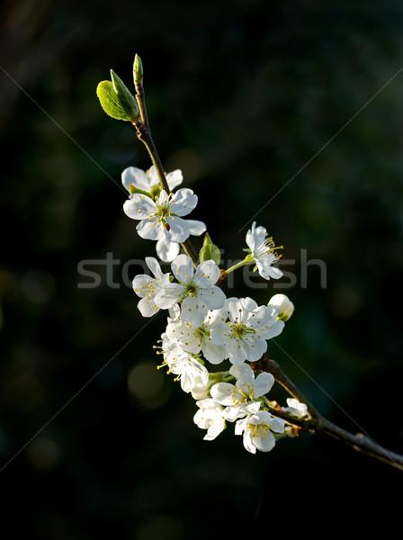 Prune fleur blanche arbre fleur sombre Photo stock © suerob