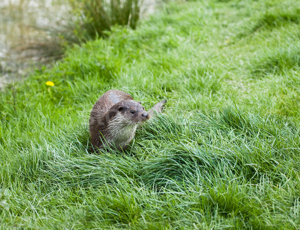 Eurasian Otter Stock photo © suerob