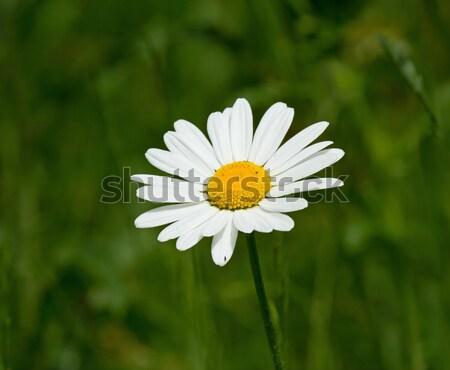 Daisy blanche jaune été pétales Photo stock © suerob