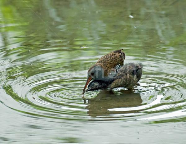 Adulto água trilho jovem Foto stock © suerob