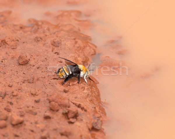 Stock photo: Gambia Bee