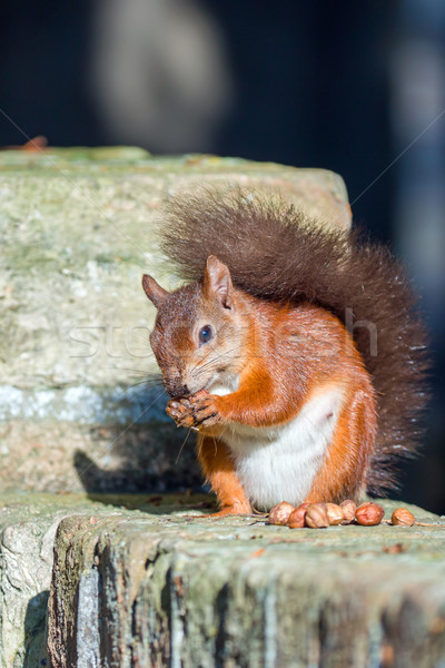 Red Squirrel Posing on Wall Stock photo © suerob