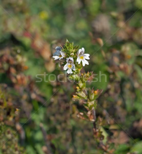 Küçücük kır çiçeği büyüyen tebeşir güney doğa Stok fotoğraf © suerob