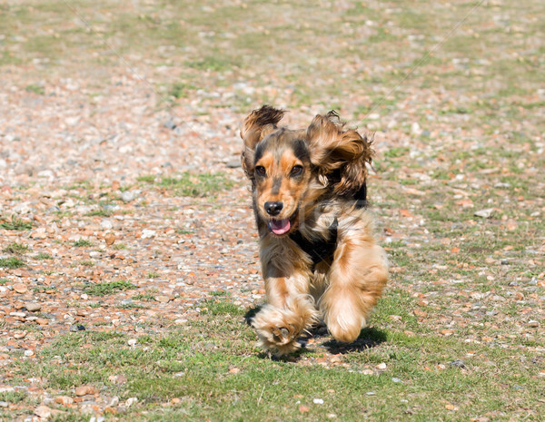 Photo stock: Anglais · chiot · courir · plage · chien · cheveux