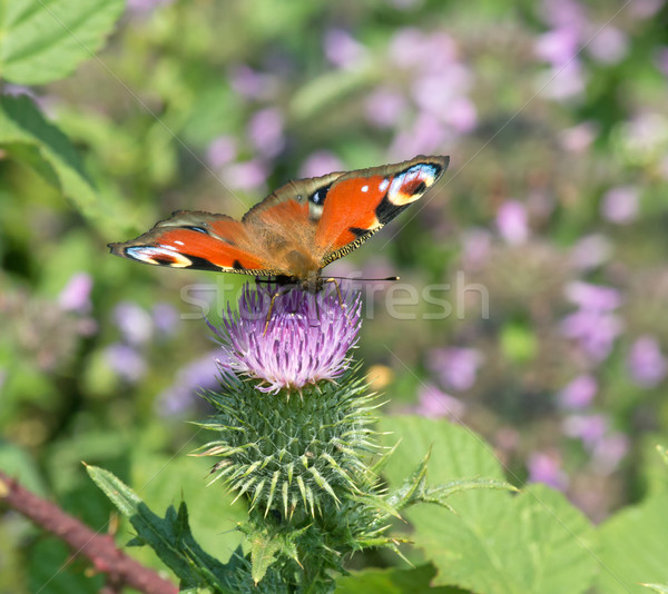Paon papillon fleur nature insecte Photo stock © suerob