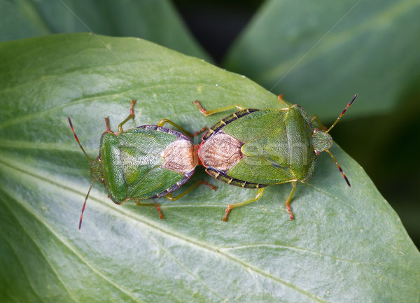 Common Green Shield Bugs mating Stock photo © suerob