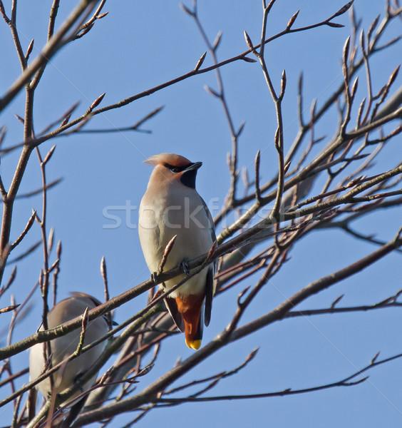 Boheems winter boom kuif zichtbaar vogel Stockfoto © suerob