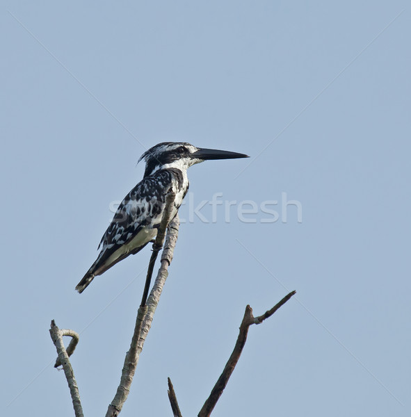 Pied Kingfisher  Stock photo © suerob