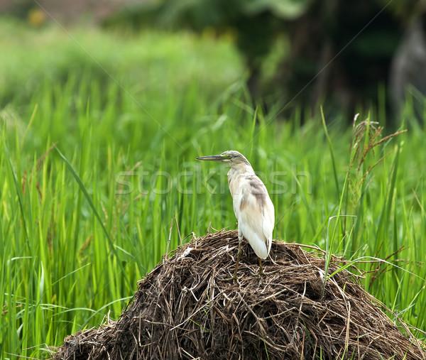 Squacco Heron in Rice Field Stock photo © suerob