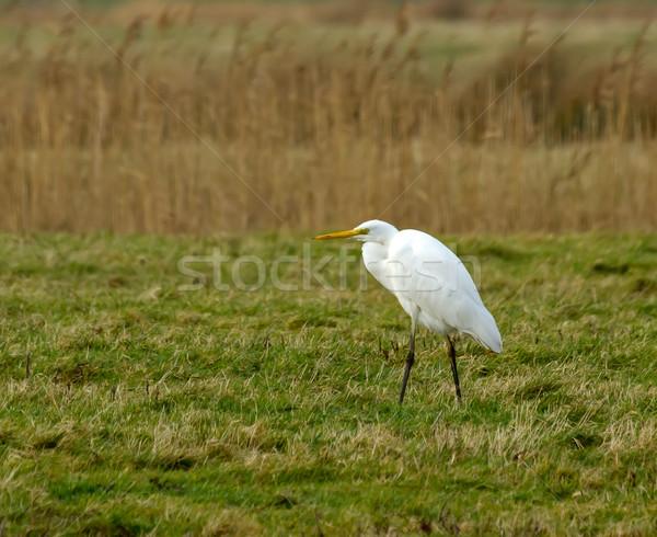 Great White Egret Stock photo © suerob