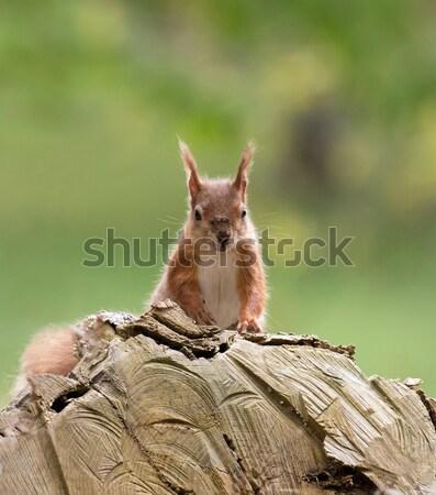 Red Squirrel on Log Stock photo © suerob