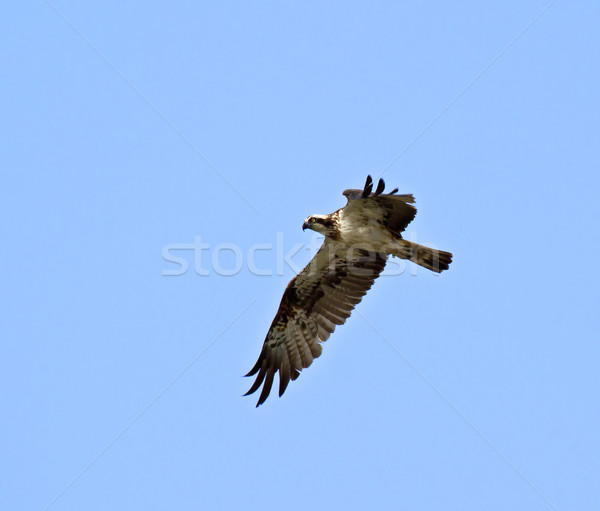 Osprey Stock photo © suerob
